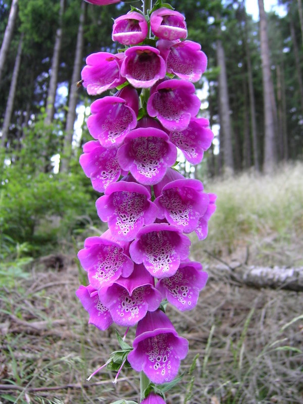 ROTER FINGERHUT Digitalis purpurea